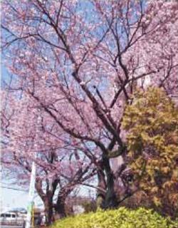 大寒桜が咲いているく画像